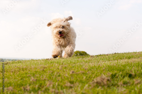 Small dog running