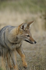 pampas fox - a portrait