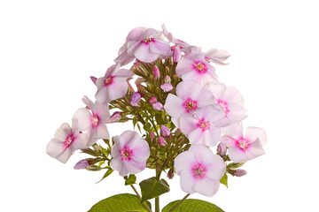 Cluster of white and pink phlox flowers on white