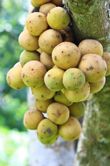 Longkong fruits closeup on the tree
