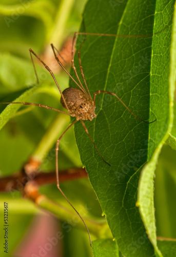 Leinwanddruck Bild Opiliones