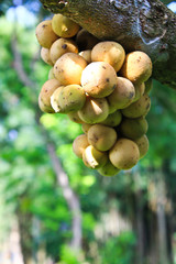 Longkong fruits hang on the tree