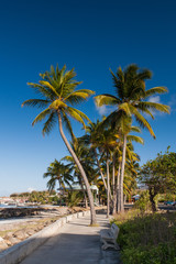 Palm trees of Le Vauclin, Martinique