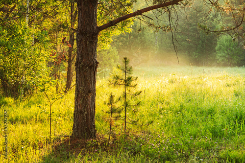 Meadow with young pine early in morning summer day