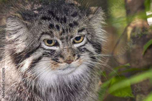 Portrait of a Pallas's cat or manul (Felis manul)