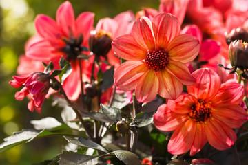 Orange Dahlia flowers in morning sun