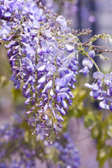 Wisteria sinensis flowers in spring