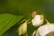 Leinwanddruck Bild - Opiliones
