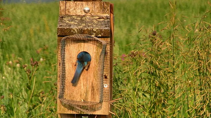 Eastern Bluebirds Feeding Babies