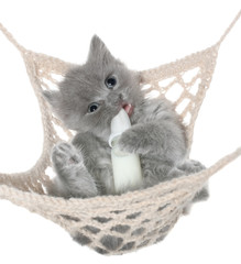 Cute gray kitten sucks milk bottle in a hammock top view
