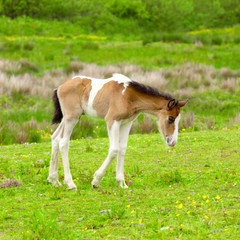 An young foal