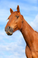 Portrait of a bay horse outdoors in the rays of the sunset