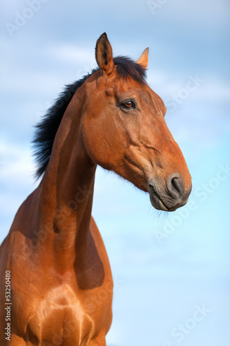 Portrait of beautiful bay horse, 6 years old