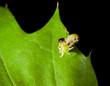 Aggressive pest caterpillar