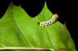 Caterpillar crawling on oak leaf