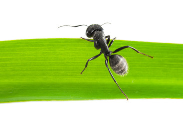 Ant climb over grass blade