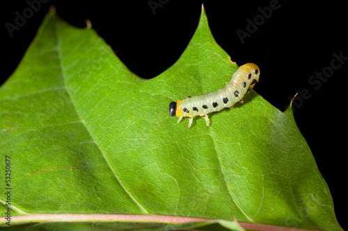 Caterpillar crawling on oak leaf