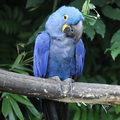Grand ara bleu.