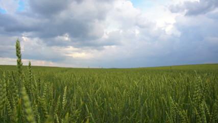 Wheat field before rain