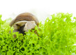 Garden snail is eating lettuce leaves