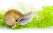 Garden snail on lettuce leaf
