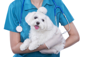 Small cute Maltese in the hands of a veterinarian