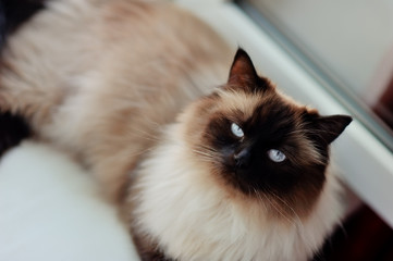 on the window sill is a beautiful cat with a white wool , a blac