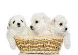three puppies in a basket. isolated on white background