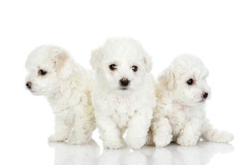 three puppies of a lap dog. isolated on white background