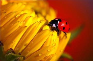 Mariquira roja en una flor