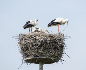 nest with stork