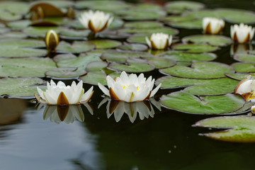 water lily on the pond