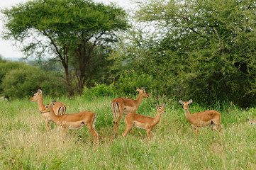 Wildlife antelope in safari in Africa