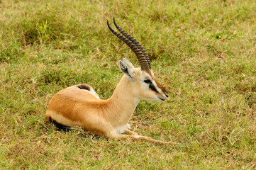 Wildlife antelope in Africa
