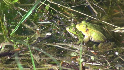 pair Little Water Frog( Rana lessonae) in spring pond