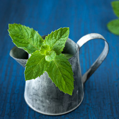 Fresh green mint in the garden watering