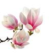 Obrazy na płótnie, fototapety, zdjęcia, fotoobrazy drukowane : smell of magnolia