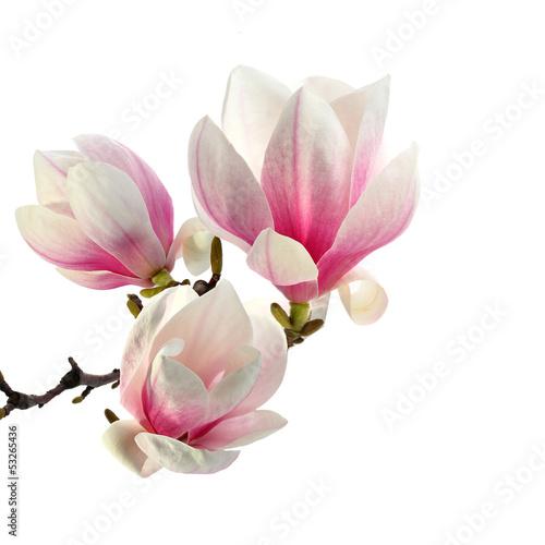 Papiers peints Magnolia smell of magnolia