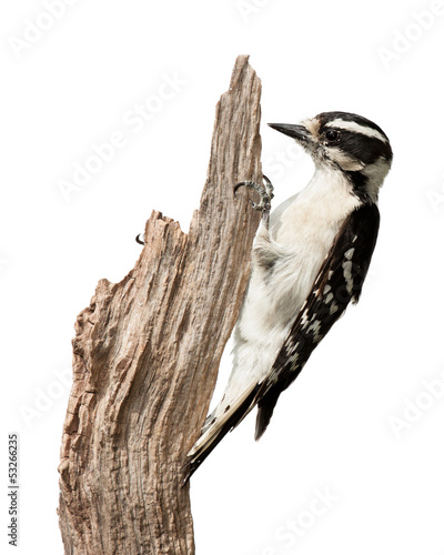 Pecking Woodpecker