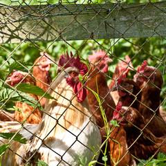 hahn mit einer gruppe hühnern im freien