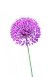 Beautiful blooming allium close up