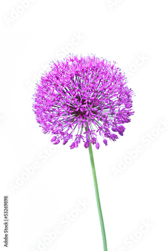Spoed canvasdoek 2cm dik Lilac Beautiful blooming allium close up