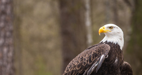 Majestic Bald Eagle