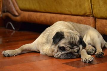 old dog pug
