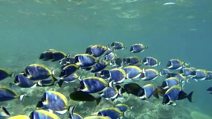 Schwarm von Doktorfischen Video