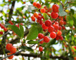 Bright red cherries on the branch