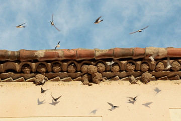 The beautiful ballet of swallows in spring