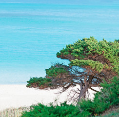 pine by the shore