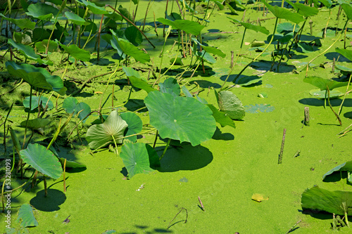 Leaves of lotus plants