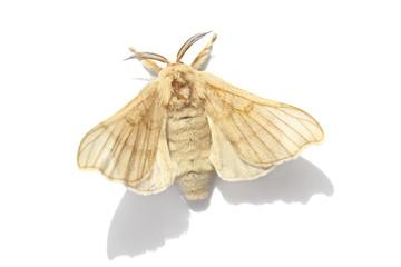 Butterfly of Silk moth